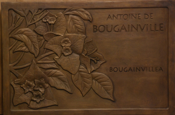bougainviller